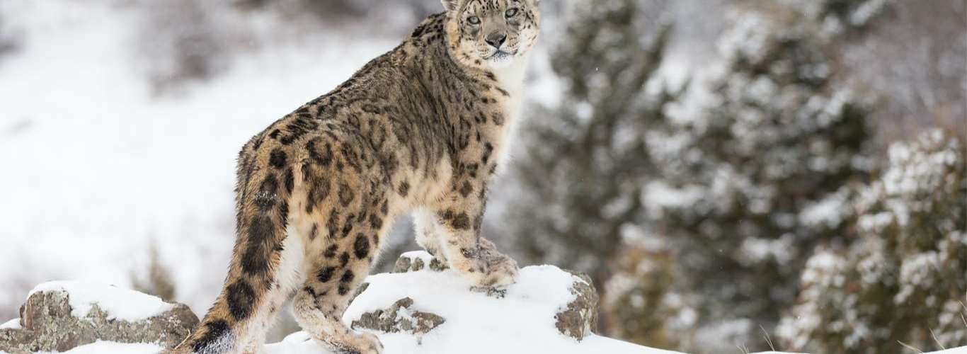 A Snow Leopard Conservation Centre is Coming up in Uttarakhand