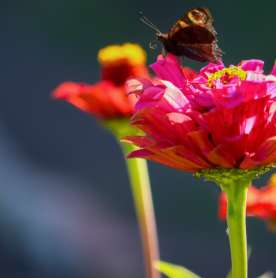 All Aflutter: Who's Going to Win the National Butterfly Tag?
