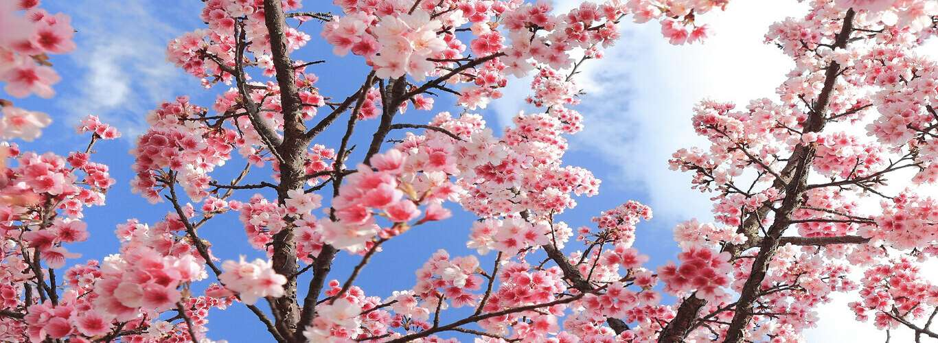 Experience Manipur's Cherry Blossom Festival Online