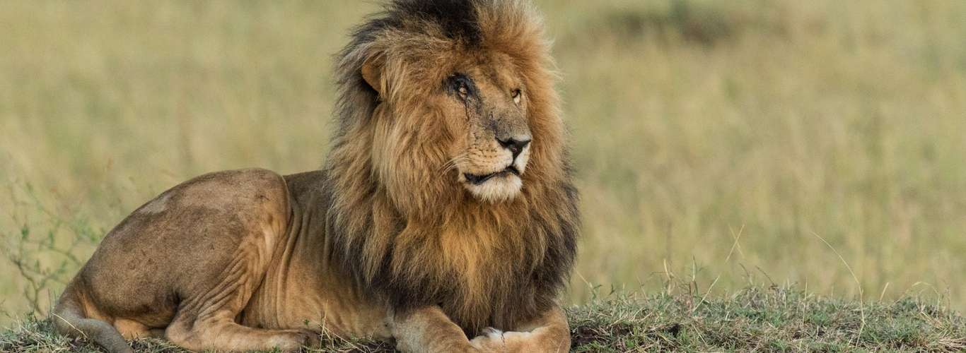 Bid Farewell to Our Huge Friend: Scarface the Lion Dies
