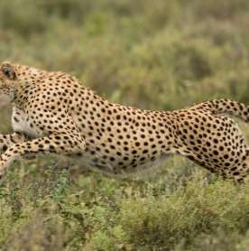 Cheetahs to Return to India in 2021?