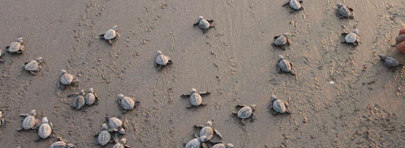 Baby Olive Ridley Turtles Set Off For The Sea