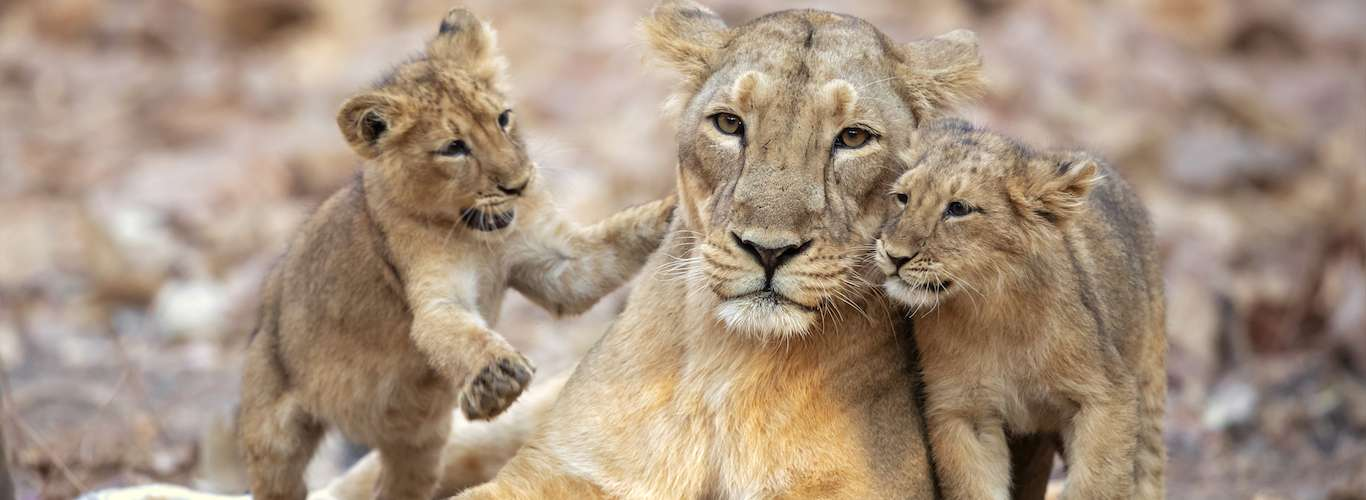 Kuno Palpur Wildlife Sanctuary to Welcome Asiatic Lion After 29 Years of Planning