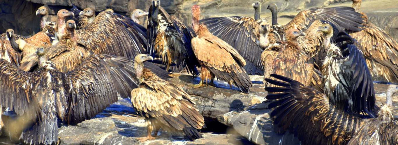 Did You Know About Himachal's 'Vulture Restaurant'?