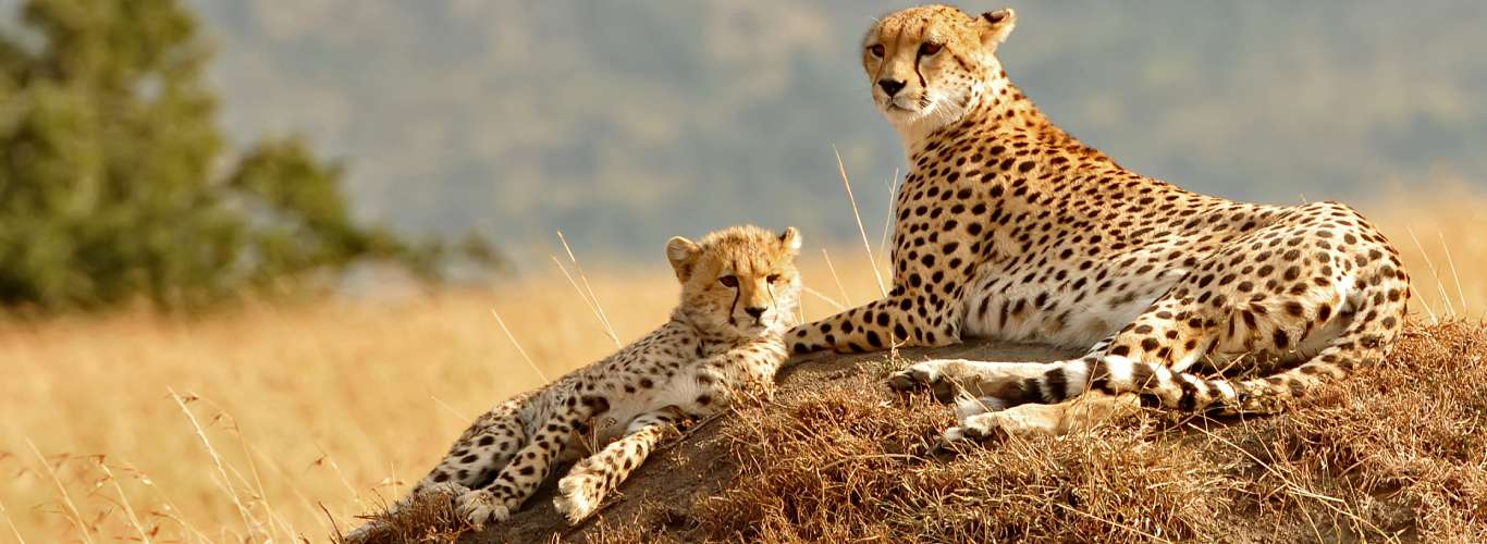 Cheetahs To Be Reintroduced In India On Experimental Basis