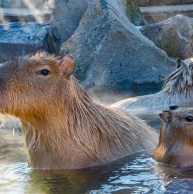 A Japanese Zoo Café Is Using Stuffed Capybaras To Enforce Social Distancing