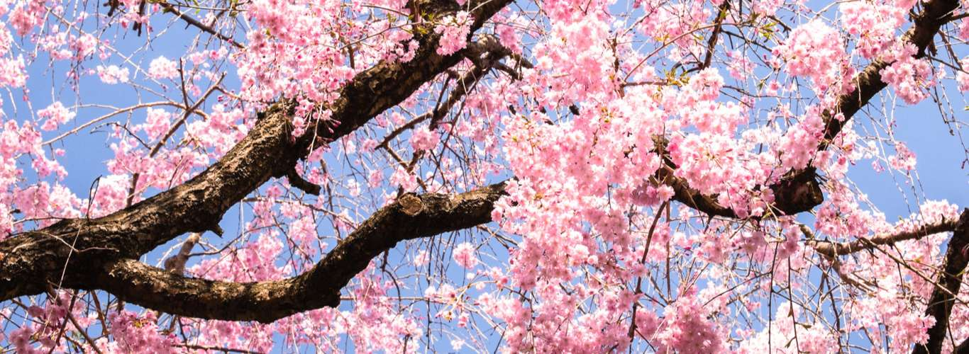 Kyoto Cherry Blossoms Record Early Bloom, After 1, 200 Years