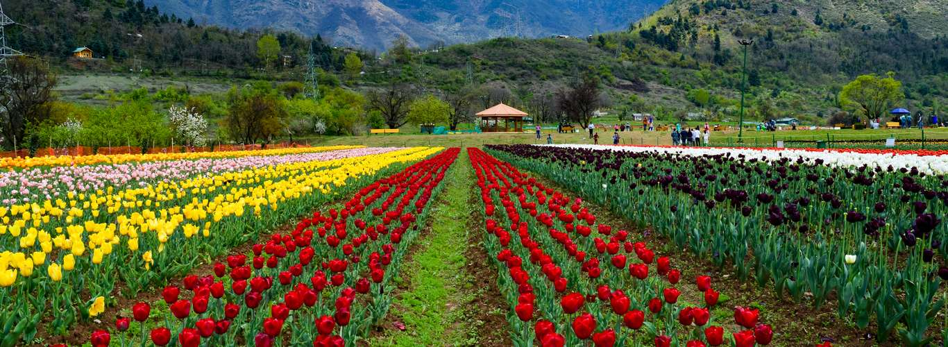 This Garden in the Kashmir Mountains Has 15 Lakh Tulips