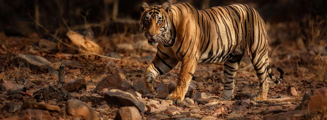 Two Tigers Have Boldly Gone Where No Indian Tiger Has Gone Before