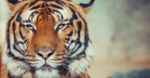 On International Tiger Day 2021 take a look at how you can help tigers to survive