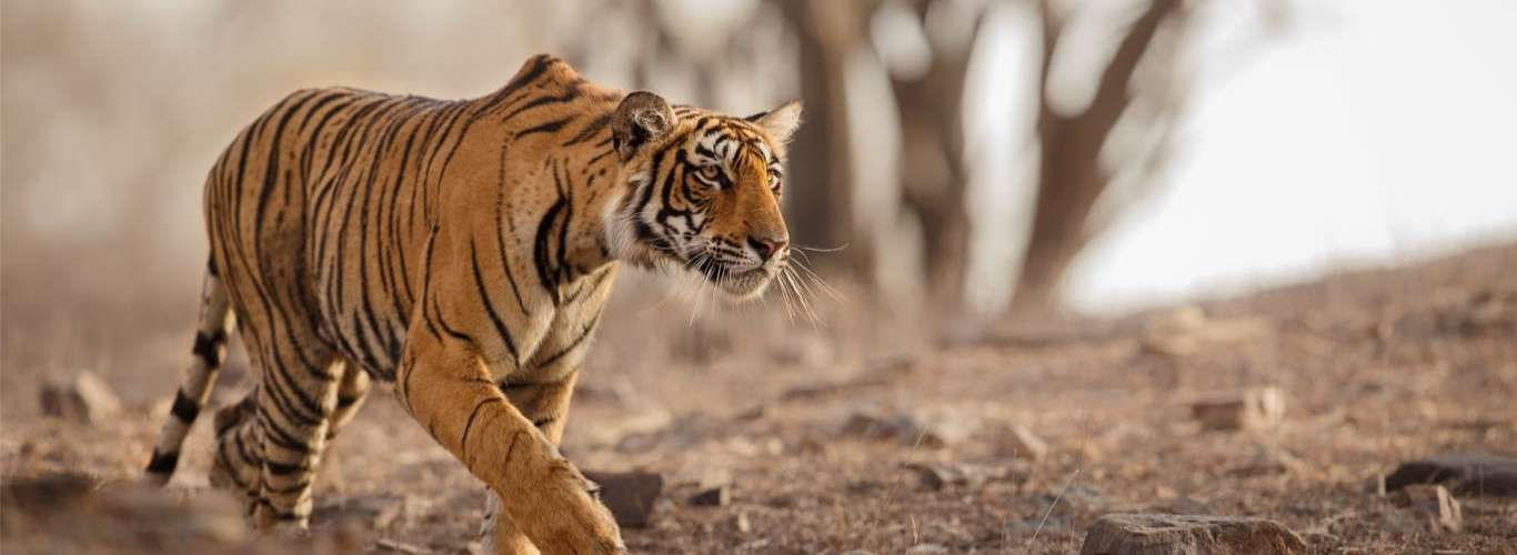 India's Tiger Census Makes it to Guinness World Records