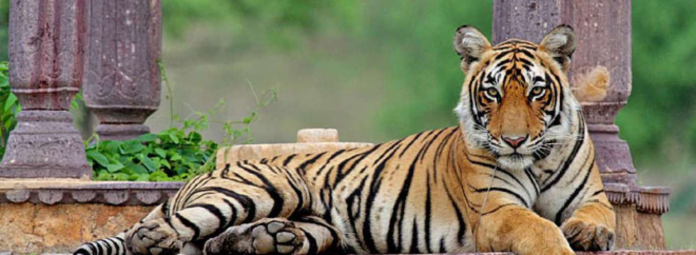 Blog: The Life and Times of Machli, Ranthambore National Park--s Celebrity Tigress