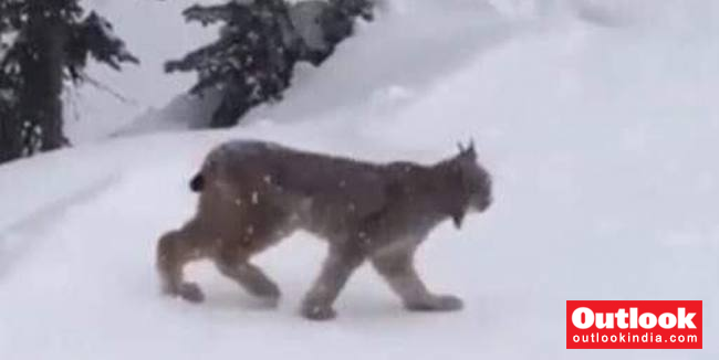 Eurasian Lynx in Kashmir Valley? Wildlife Dept. Picture Triggers Speculation In J&K