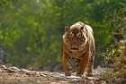 Crossing the line? Ustad (T24) in Ranthambore