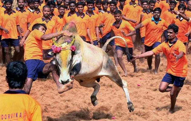 Tamil Nadu Governor Approves Ordinance To Hold Jallikattu