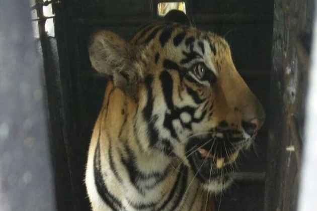 Man-Eating Tigress, Which Faced 'Shoot-To-Kill' Order, Dies Of Electrocution