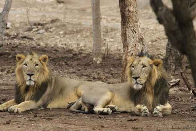 Gir Sanctuary Lions, Tired Of Tourist Nuisance, Go Into Hiding