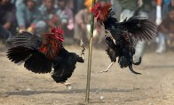 When AIADMK's Factions Carried Pigeons And Roosters Around After EC Froze 'Two Leaves' Symbol In 1989