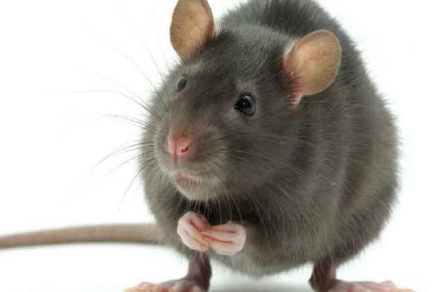 Aspartame Rats | www.pixshark.com - Images Galleries With ...