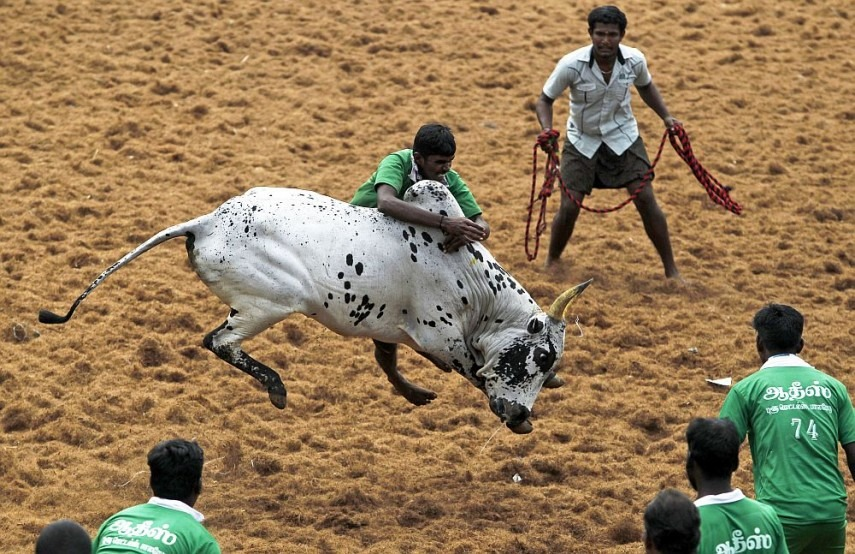 As part of Pongal festivites, Jallikattu kick starts in Madurai