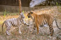 2 Six-Month-Old Tiger Cubs Killed After Being Hit By Train In Maharashtra