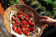 Fruit Contamination: Australian PM Announces 10-15 Years' Imprisonment For Strawberry Saboteurs
