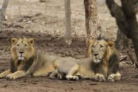 Gujarat Forms 64 Teams To Rescue Sick Lions In Gir
