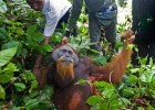 Orangutans And Potato Chips