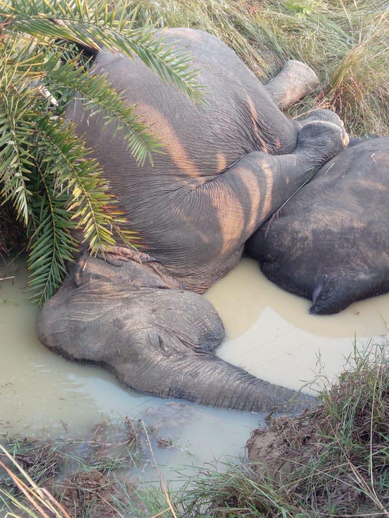 Animal Electrocuted Porn odisha's biggest elephant tragedy: seven jumbos electrocuted