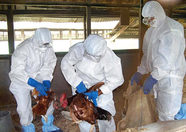 essay on bird flu Controversial bird flu the meeting at the royal society was called after two science journals agreed in december to hold off publishing two papers on the bird flu.