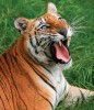 <b>Fading Fieriness?</b> Kanha needs to save its tigers