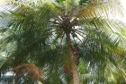 <b>'Nuts to that'</b> Coconuts go untended