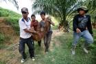<b>Retired hurt</b> Injured orangutan at a palm plantation in Aceh