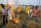 <b>Uprooted BKU</b> activists destroy transgenic rice fields in Haryana