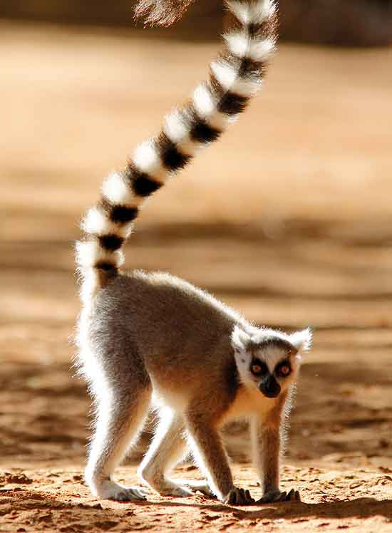 lemurs in madagascar assignment 2 essay The word lemur in latin means ghost because lemurs are a  - writing assignment one--do  2004) throughout this essay i will analyse thomas herzog's.