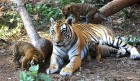 Things are looking up for this tigress and her brood at Pench reserve