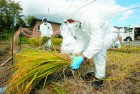 Town officers in Okuma near Fukushima cut 'test paddy' grown to check radiation levels