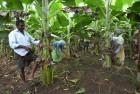 <b>Peel 'em</b> A banana farm in Laingayapalem village