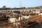 <b>Communal cattleysts</b> The gaushala at Maan Mandir Seva Sansthan in Barsana