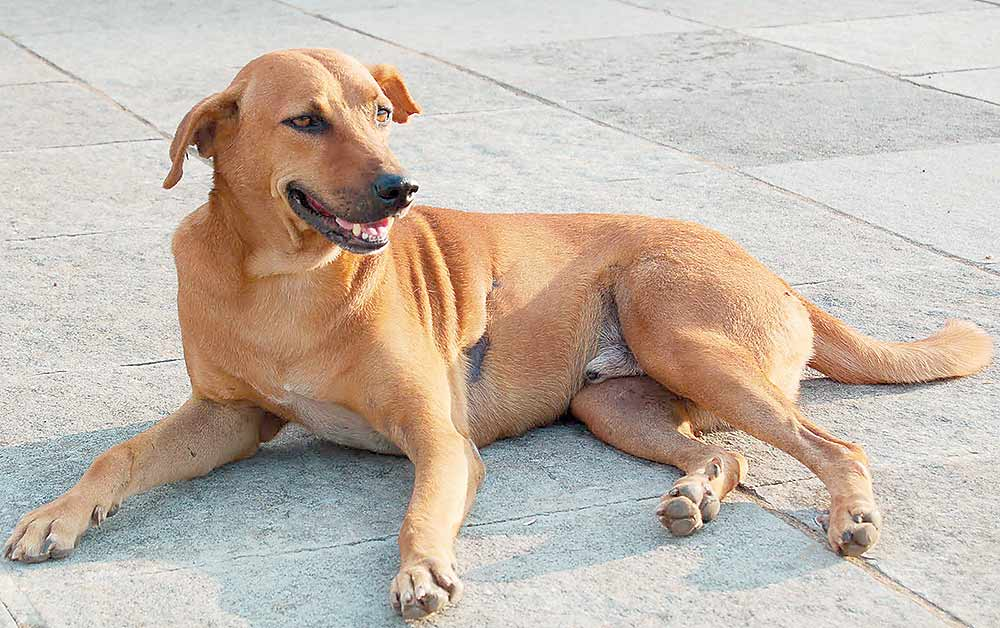 Outlook India Photo Gallery - Exotic Indian Breed Dogs