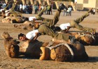 The BSF camels practising in Jaisalmer for a ceremonial performance