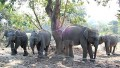 These elephant calves were rescued from areas around Kaziranga and transferred to Manas National Park