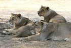 Immovable property? Lions at Gir