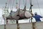 Japan Kills More Than 333 Whales In Annual Antarctic Hunt