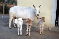 'Gau Rakshaks' Protecting Cows, Worthy of Respect, Say VHP