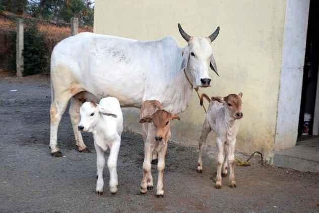 H F Cattle India Haryana: At Lea...