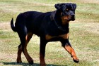 Rottweiler Dog Attacks Woman in South Delhi, Owner Booked