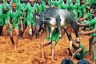 One Gored To Death, 56 Injured During Jallikattu In Tamil Nadu