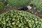 Mango Production In Uttar Pradesh To See 65 Percent Drop This Year, May Elude <em>Aam Aadmi</em>