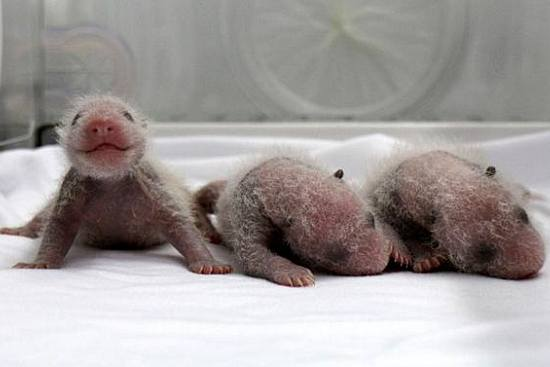 Chinese Panda Creates Record, Delivers First Triplets